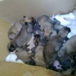 Many puppies to foster
