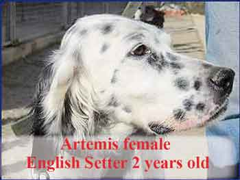 artemis-english-setter-2-years